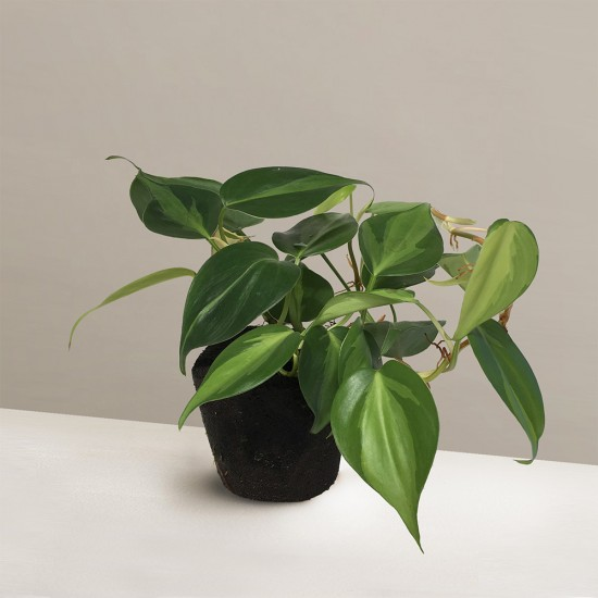 Midorie Philodendron Variegated